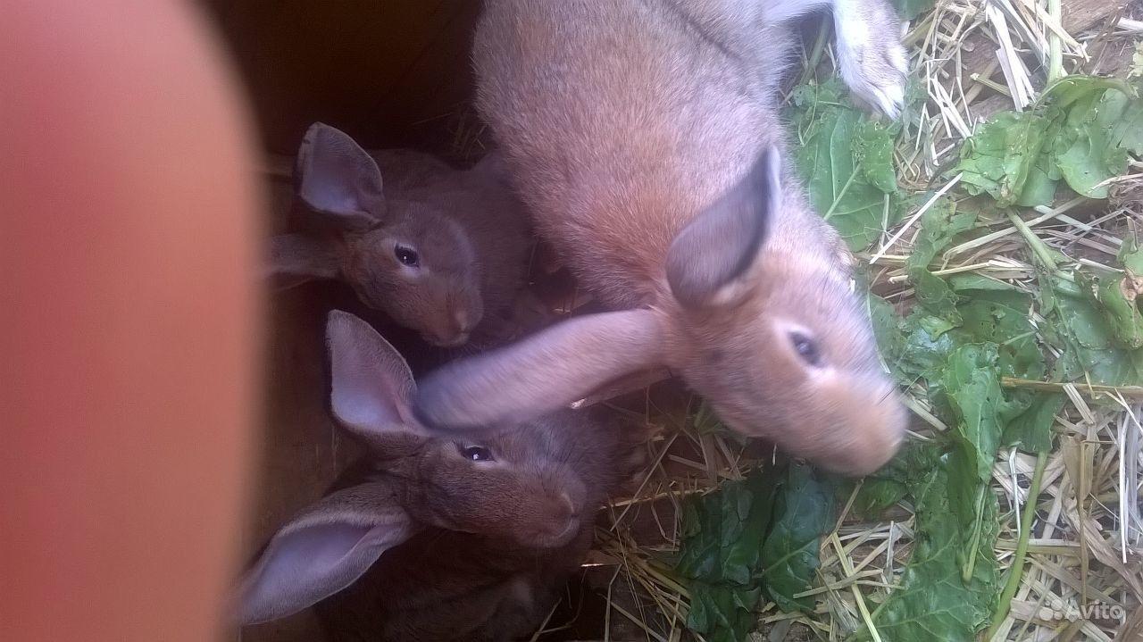Продаю кроликов. Ростовская область, Шахты