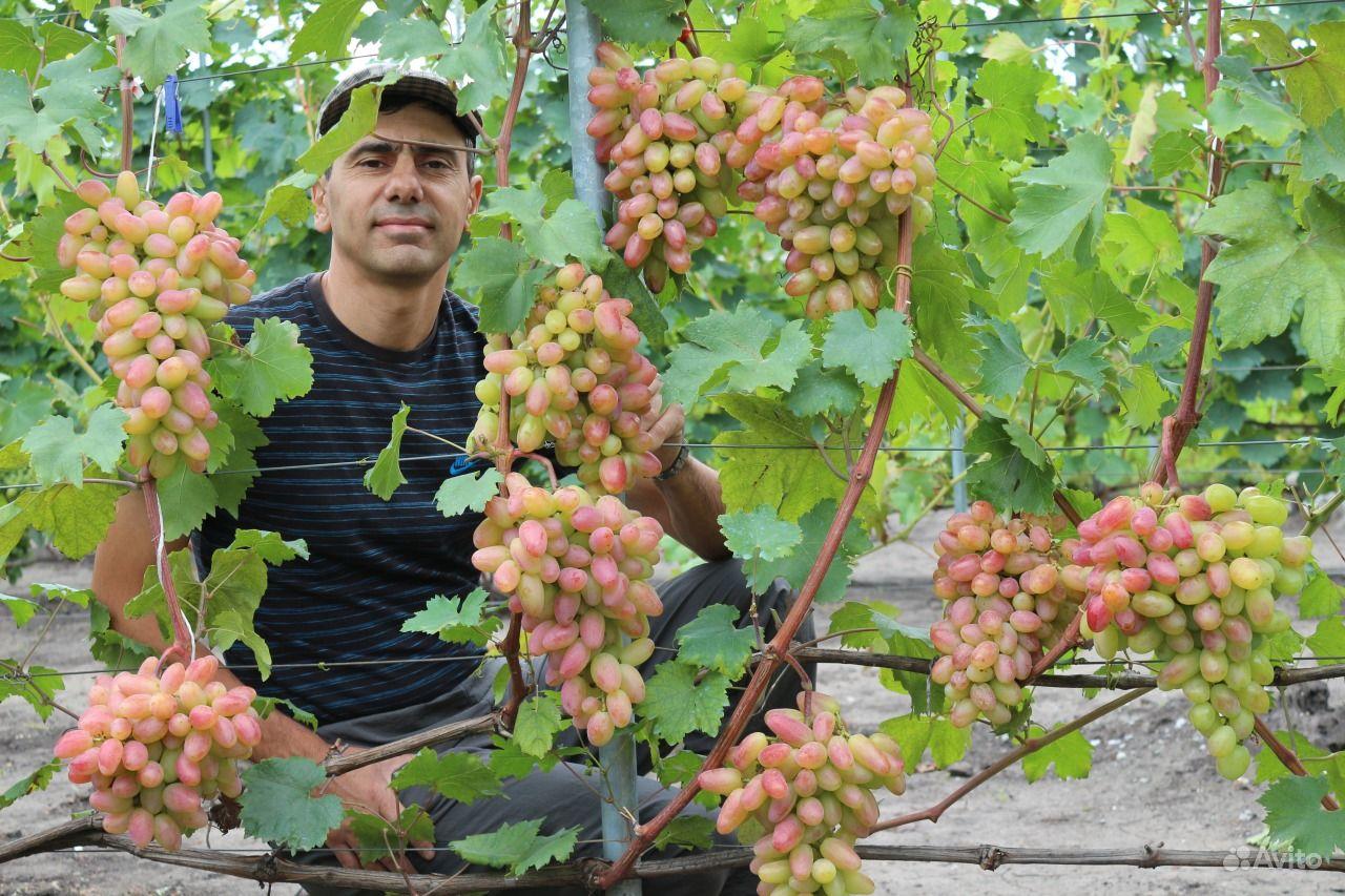 саженцы винограда в новосибирске фото текстом