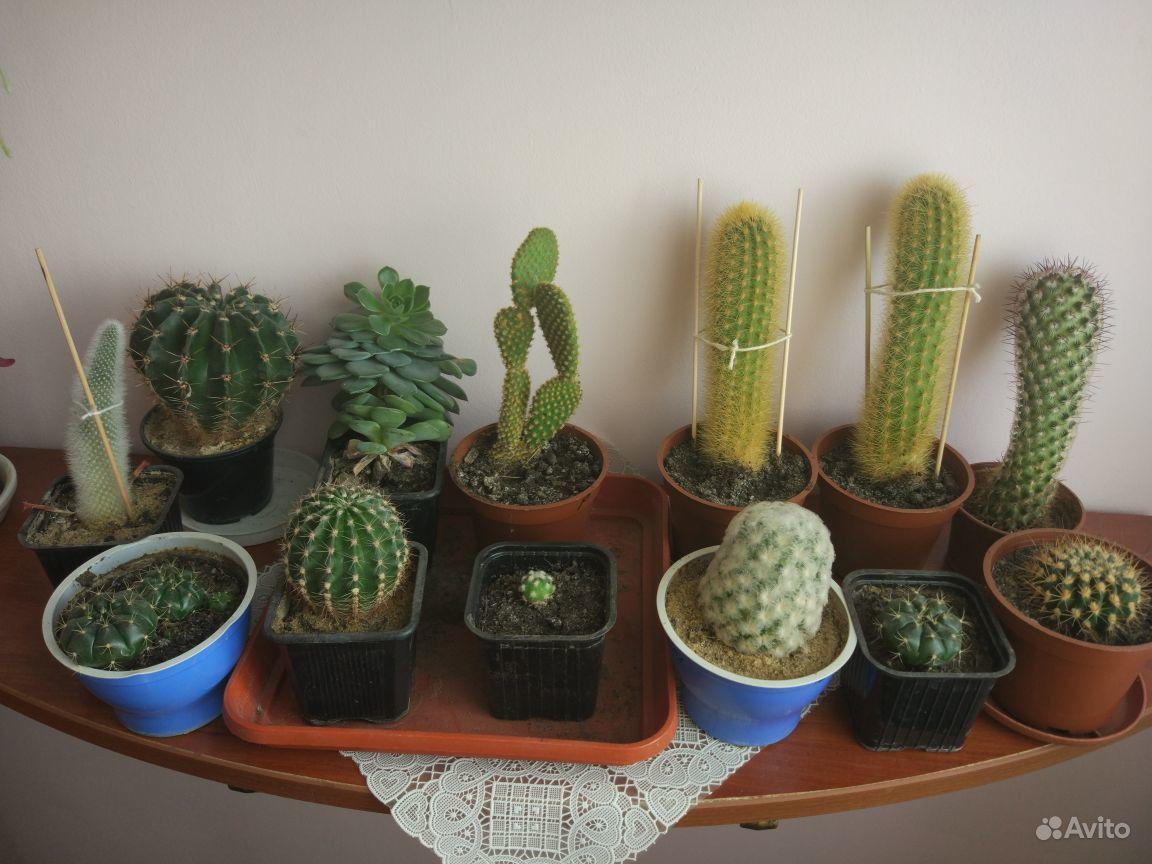 Коллекция кактусов купить на Зозу.ру - фотография № 1