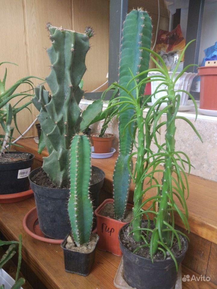 Коллекция кактусов купить на Зозу.ру - фотография № 2