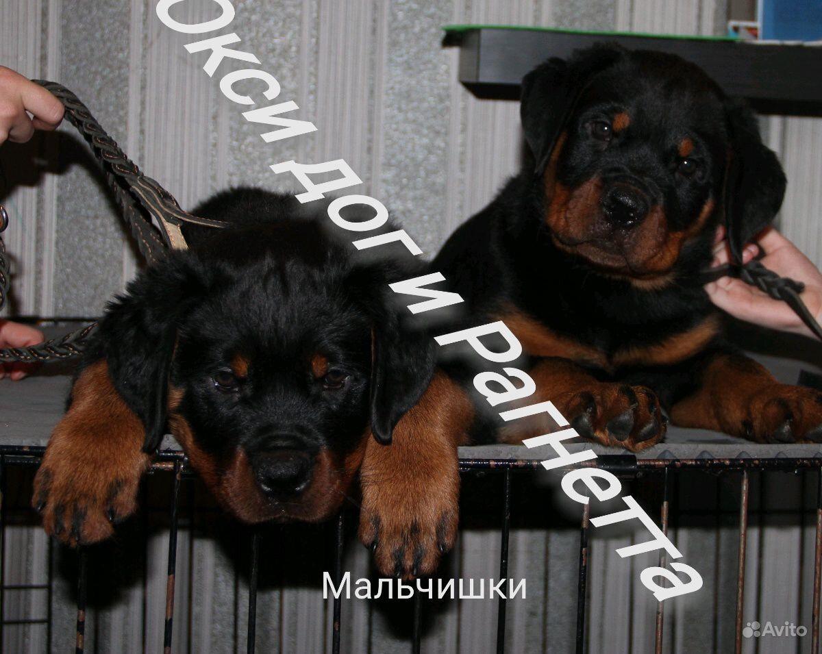 Щенков ротвейлера в Вологде - фотография № 2