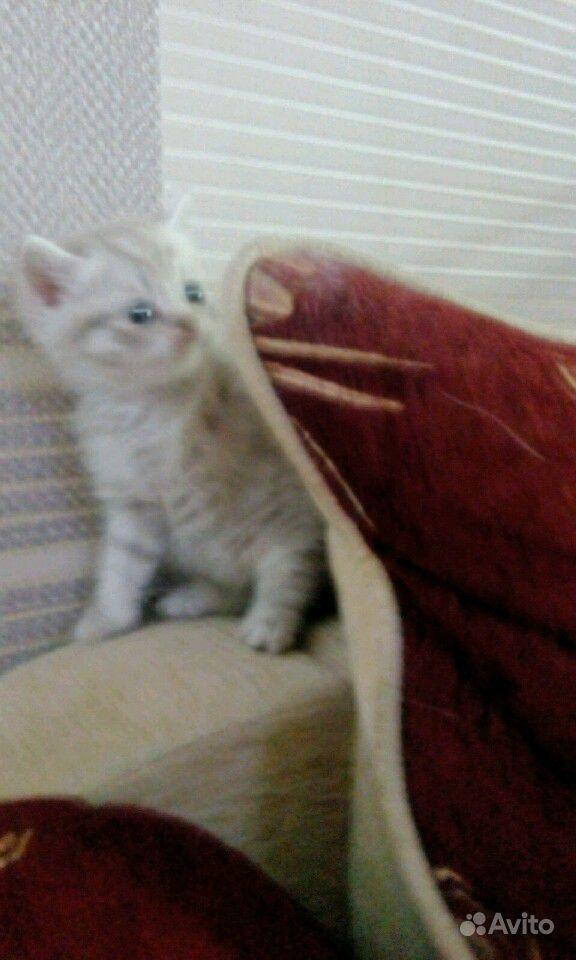 Британские котята в Саратове - фотография № 7