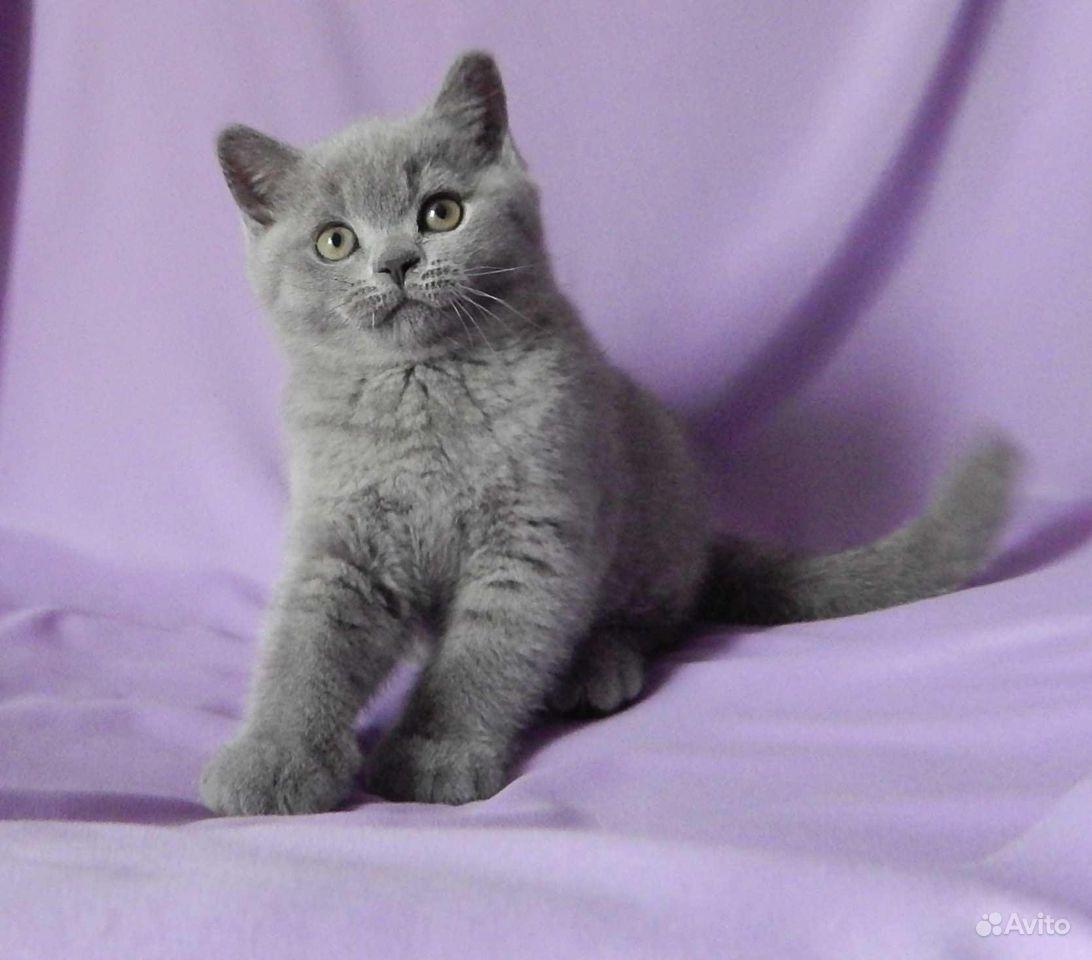 Британские котята в классических окрасах - фотография № 2