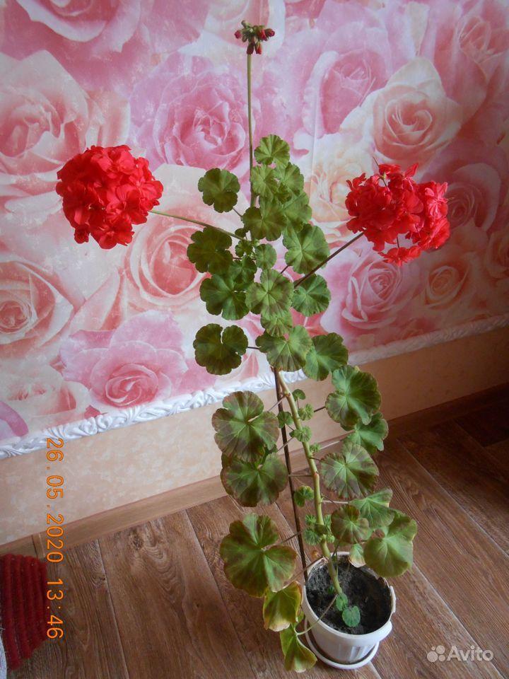Пеларгония герань купить на Зозу.ру - фотография № 1