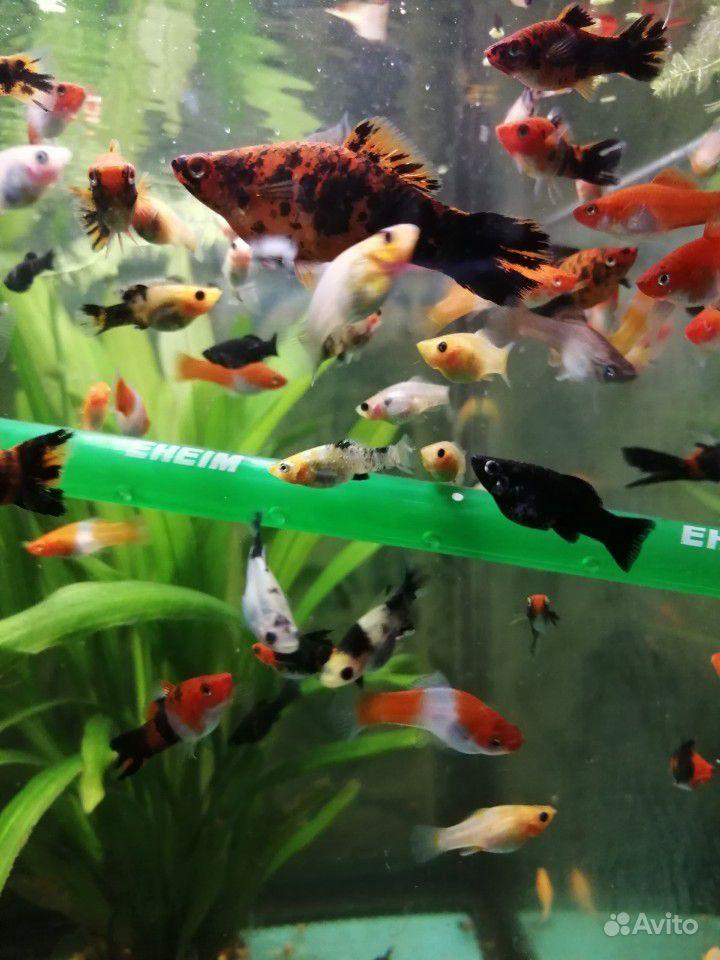 Меченосцы и молинезии аквариумные рыбки купить на Зозу.ру - фотография № 8