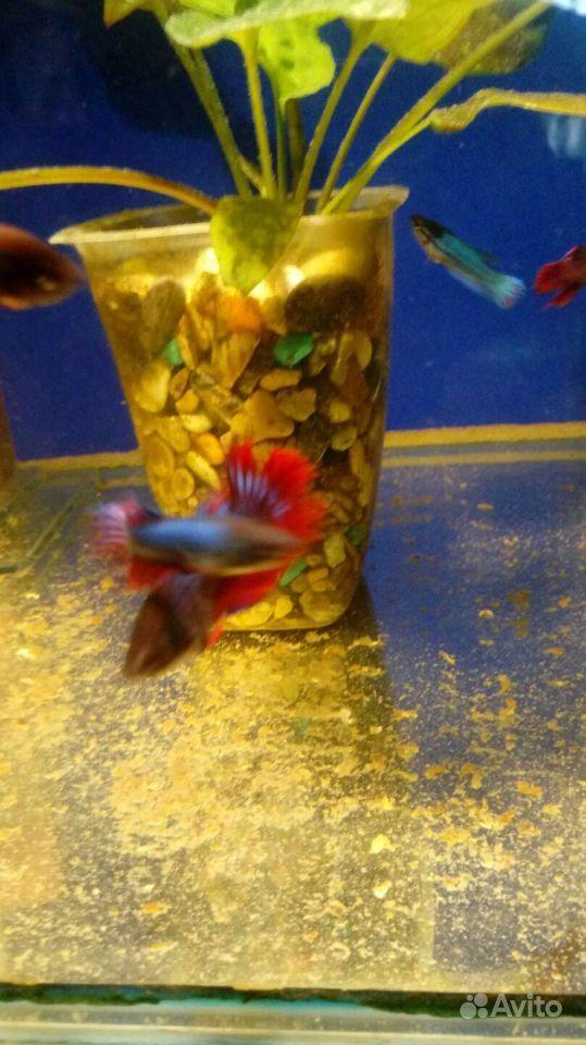 Рыба Петушки купить на Зозу.ру - фотография № 7