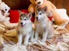 маламут щенки цена в россии зарегистрирована на: kids60