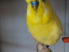 Выставочные волнистые попугаи
