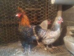 Продам яйцо на инкубацыю от помесных кур
