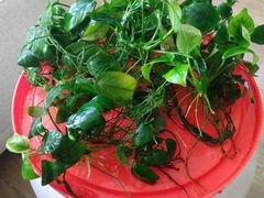 Аквариумные растения :криптокорина и анубиас