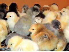 Цыплята несушки цветные