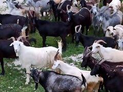 Овцы и козы в круг