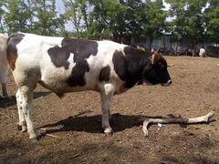 Продаются 2 быка и 3 телки