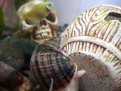 Улитка аквариумная