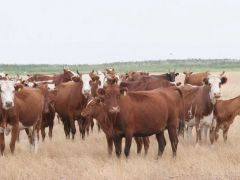 Телята январь - апрель 2020 года,бычки и телки,коз