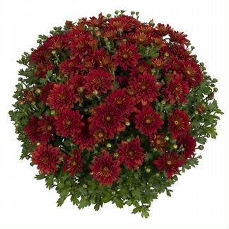 Хризантема Meridian cherry red