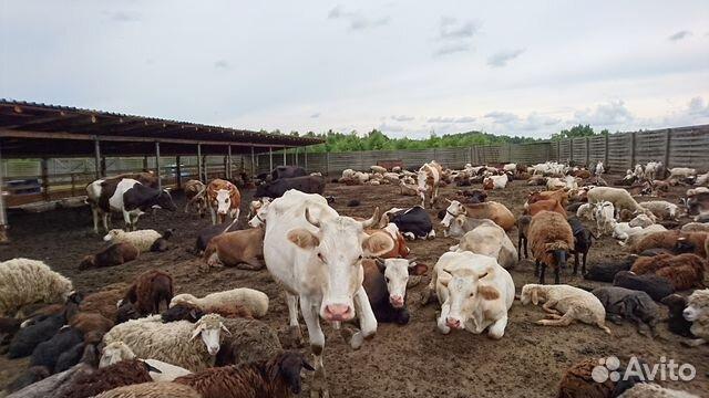 фотографии коровы свиньи козы на авито тульская обл требование уплате
