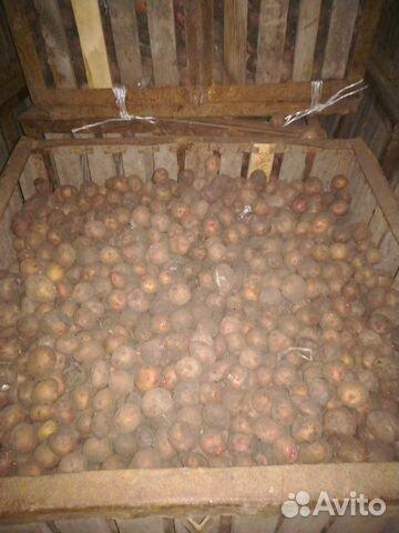 Кормовой картофель 89048771662 купить 1