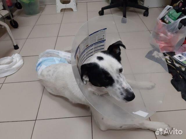 Пристраивается щенок купить на Зозу.ру - фотография № 5