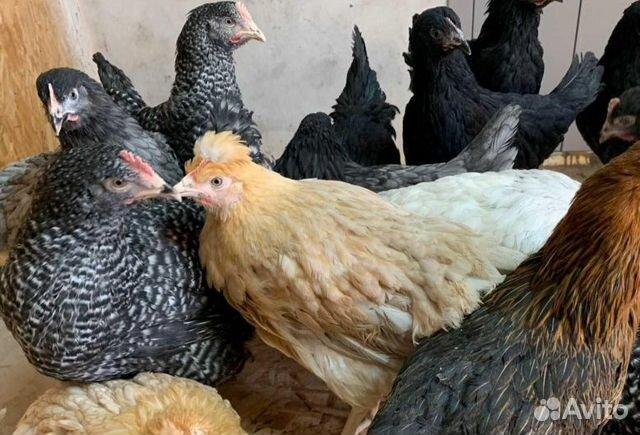 Hühner Legehennen verwendet werden,die Hühner, Broiler,мулард,индюшата