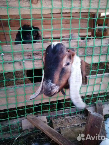 Кoзы и козлята англо-нубийские купить 3