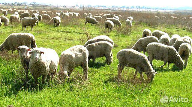 Овцы и бараны купить 1