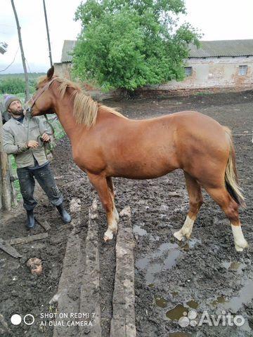 Лошадь 2,2 года  89507594295 купить 2