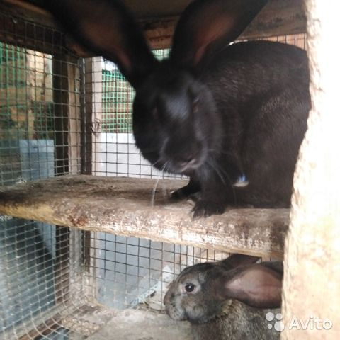 Кролики  89095041049 купить 7