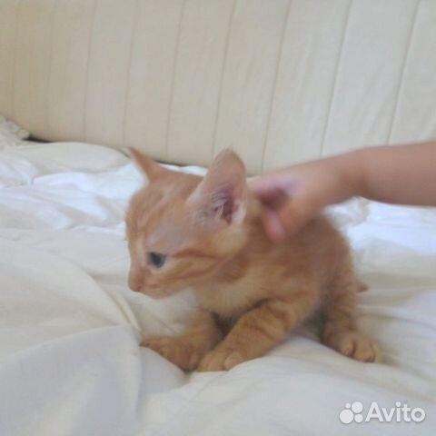 Кошка  89787802488 купить 3