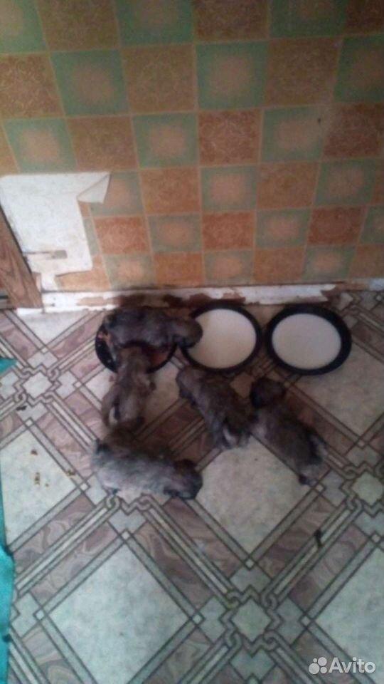 Собака  89014505250 купить 1