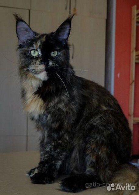 Кошка Мейн кун и бенгалы  89028915438 купить 1