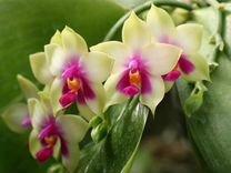 Орхидея bellina