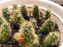 Детки кактуса — Растения в Екатеринбурге