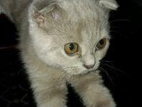 Котёнок шотландец чистокровный