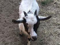 Камерунский козел
