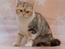 Чистокровная британская кошка