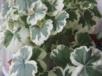 Пеларгонии (герани) сортовые много расцветок