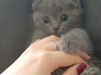 Продаётся британский котенок девочка