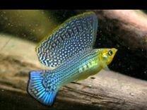 Ищ у живородящих рыб и креветок жёлтых