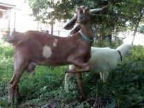 Козье молоко для детей от нубийских коз