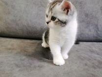 Продам шотладских котят