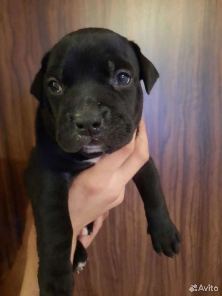 Staffordshire Terrier  89199366741 köp 2